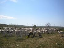 image moutoneolienneenvironnementterroir.jpg (0.6MB)
